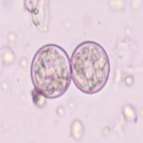 消化管内寄生虫2